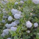 Ceanothus thyrsiflorus repens Low Blue Blossom