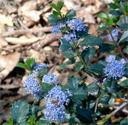 Ceanothus Mills Glory Holly Leaved California Mountain Lilac