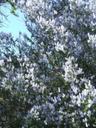 Ceanothus leucodermis White Bark California Lilac