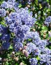 Ceanothus Frosty Blue Frosty Blue Mountain Blue