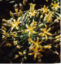 Bloomeria crocea