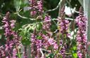 Stachys chamissonis