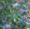 Ceanothus thyrsiflorus Big Sur California lilac Big Sur Lilac