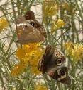 Two Buckeye Butterflies on a Rabbitbrush flower.
