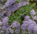 Ceanothus Blue Jeans Holly Leaf Mountain Lilac