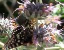 Checkerspot Butterfly on a Purple Sage